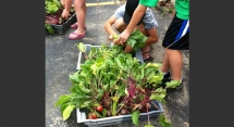 Kids help with radishes
