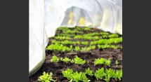 Hoop house lettuces