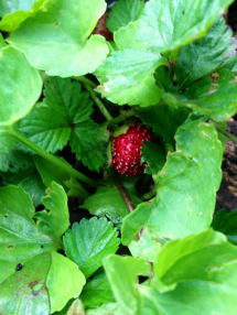 Little strawberries in the morning